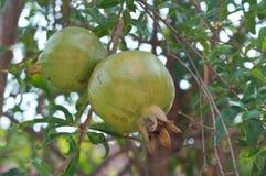Granatäpfel auf Baum Lizenzfreie Stockfotos