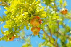 Granatäpfel auf einem Granatapfelbaum - Kroatien, Insel Brac lizenzfreies stockbild