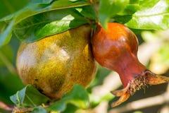 Granatäpfel, die auf einem Baum wachsen Stockbild
