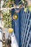 Granatäpfel vor blauem hölzernem Gitter stockfoto