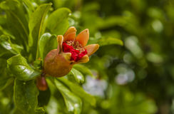 Granatäpple i blomning i botanica Arkivbild