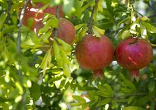 granatäpple på trädgårdträdgården fotografering för bildbyråer