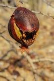 Granatäpple som är öppen på trädet Royaltyfria Foton