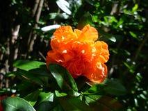 Granatäppleblomma Fotografering för Bildbyråer