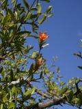 Granatäppleblomma i blom Royaltyfria Bilder