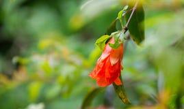 Granatäppleblommor och gräsplansidor på träd fotografering för bildbyråer