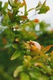 Granatäpplefrukt på ett träd arkivfoto