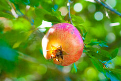 Granatäpplefrukt växer på ett träd Royaltyfri Fotografi