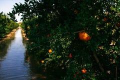 Granatäpplelantgård Fotografering för Bildbyråer