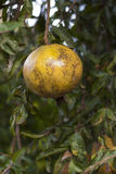 Granatäpplen på ett träd i en lantgård Royaltyfri Foto