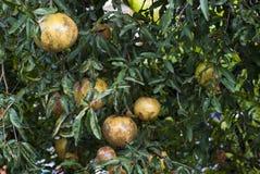Granatäpplen på ett träd i en lantgård Royaltyfria Foton