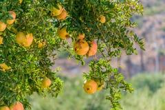 Granatäppleträd royaltyfri foto