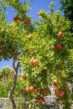 Granatäppleträd Royaltyfri Fotografi