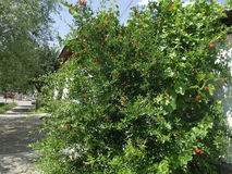 Granatäppleträd Arkivfoton