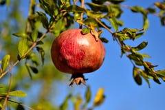 Granatäppleträd i trädgården och frukten Royaltyfria Foton