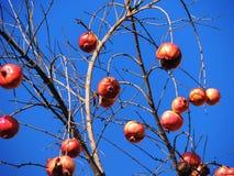 Granatäppleträd med bakgrund av blå himmel Arkivfoto