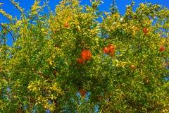 Granatäppleträd med mogen frukt på filialerna Royaltyfria Bilder