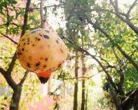 Granatäppleträd med små nedfläckade granatäpplen arkivfoto