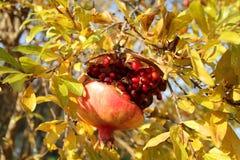 Granatäppleträd, nedgång i Italien Royaltyfri Bild