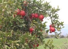 granatäppleträd, trädfilial, röda granatäpplen Arkivbilder