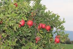 granatäppleträd, trädfilial, röda granatäpplen Arkivfoto