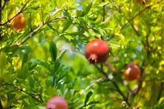Granat owoc na drzewie Fotografia Royalty Free