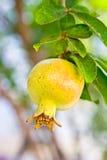 granat owoc na drzewie zaświecającym Zdjęcie Stock