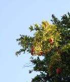 Granatapfel Lizenzfreie Stockfotografie