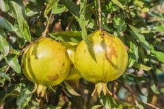 Granatapfel auf Baumast Stockfotografie