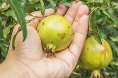 Granatapfel auf Baumast mit Handholding Lizenzfreie Stockfotografie