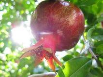 Granatapfel auf dem Baum Lizenzfreie Stockbilder