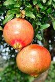Granatapfel auf dem Zweig stockfoto