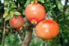 Granatapfel auf dem Zweig lizenzfreie stockfotos