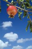 Granatapfel auf Zweig Lizenzfreie Stockfotografie