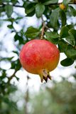 Granatapfel auf Zweig Stockfotos