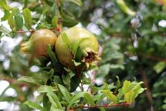 Granatapfel, der auf dem Baumast wächst Lizenzfreie Stockbilder