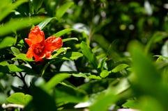 Granatapfel Eine Blume eines Granatapfels Stockfoto