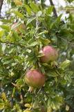Granatapfel-Frucht auf Baumast stockbilder