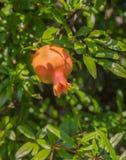 Granatapfel-Frucht auf Baumast Lizenzfreie Stockfotos