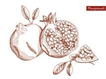 Granatapfel im Bleistift Stockfotografie