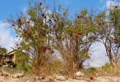 Granatapfel-Locke Lizenzfreies Stockfoto