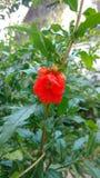 Granatapfel oder Punica granatum Stockfotos