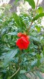 Granatapfel-Punica granatum Lizenzfreie Stockfotografie