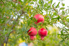 Granatapfel trägt auf dem Baum mit grünen Blättern Früchte Stockbild