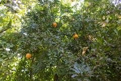 Granatapfel tree2 stockfoto