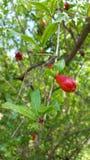 Granatapfel vor Blüte Stockfotos
