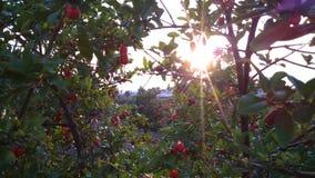 Granatapfelbäume Stockbild