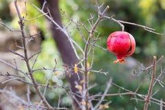 Granatapfelbaum stockfoto