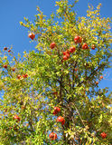 Granatapfelbaum Lizenzfreies Stockfoto