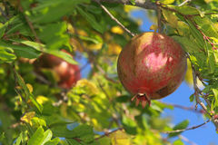 Granatapfelbaum Stockbild